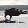 Turkey Vulture eating 7