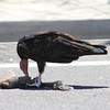 Turkey Vulture eating 6