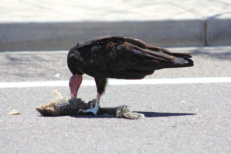 Turkey Vulture eating 8