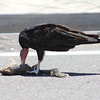 Turkey Vulture eating 8