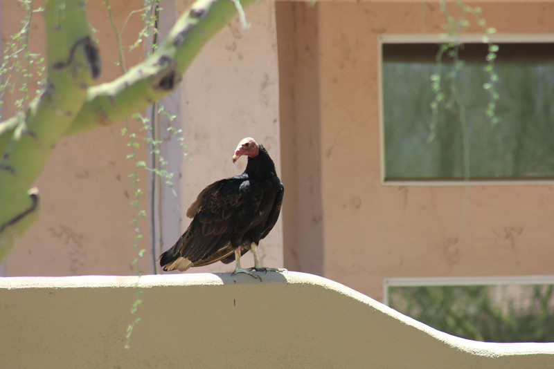 Turkey Vulture purched