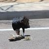 Turkey Vulture eating 1