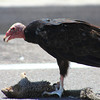 Turkey Vulture eating 5