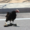 Turkey Vulture eating