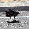 Turkey Vulture eating 2