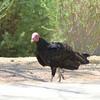 Turkey Vulture approaching