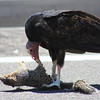 Turkey Vulture eating 4
