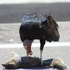 Turkey Vulture eating 3