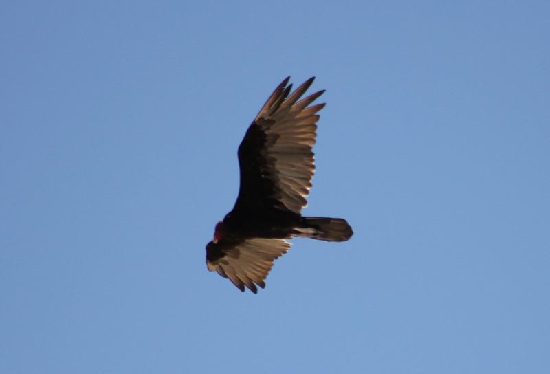 Turkey Vulture soaring 1