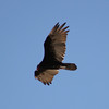 Turkey Vulture soaring 1
