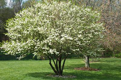 Viburnum prunifolium our native viburnum