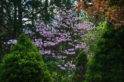 Pink Dogwood in back yard.