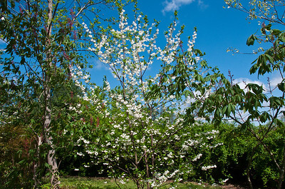 Native tree called a Helesia, common name Silver Bell.