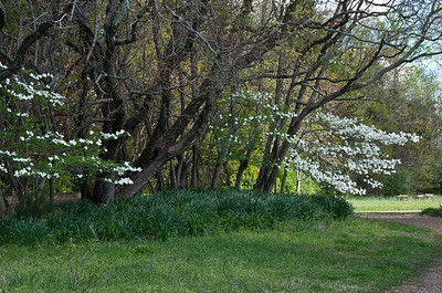 Dogwoods on the way out the drive