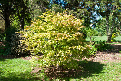Hard to see the beautiful and subtle shading.  This Maple is called 'Peaches and Cream.'