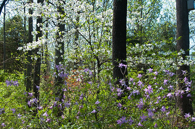 Dogwood and deciduous Azalea in Secret Garden.
