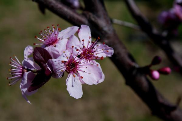 03-11-2011 Purple Leaf Plumb
