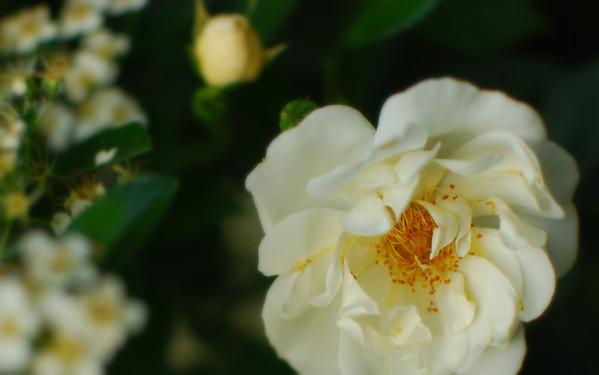 Columbus Park of Roses - 2011