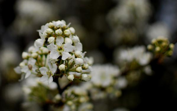 Spring Blooms - 2011
