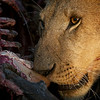 A lioness eating her wildebeest kill<br /> Masai Mara, Kenya