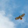 Red-tailed Hawk<br /> Williamsburg, VA