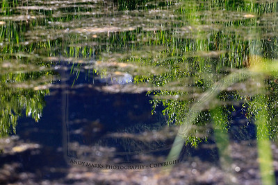 Pond water and algae with reflections of the surrounding plants and the spruce on the mountain a mile East.