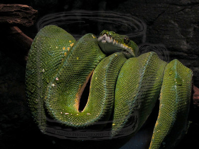 "A green snake (hand held, no flash) in the small mammal house. This thing must have amazing ""abs"". 15Jan11"