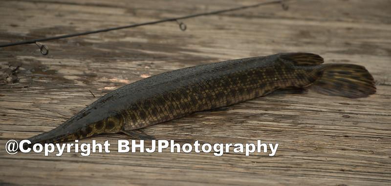 Gar fish was thrown back into the lake.