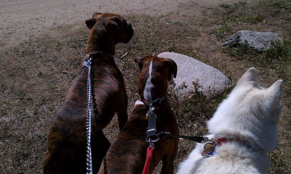190 pounds of dog on leash - WHAT WAS I THINKING!  LOL