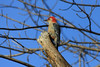 January 9, 2012 (Parkway Central High School [wooded trail] / Chesterfield, Saint Louis County, Missouri) -- Red-bellied Woodpecker