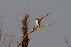 January 14, 2012 (Bottoms near Perryville Airport / Perry County, Missouri) -- Red-tailed Hawk at sunrise