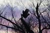 January 1, 2012 (Columbia Bottom Conservation Area [near slough boardwalk] / Saint Louis County, Missouri) -- Wild Turkey on tree at sunset