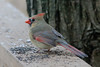 January 9, 2012 ([backyard over Grand Glaize Creek] / Manchester, Saint Louis County, Missouri) -- Female Northern Cardinal with white eye-ring