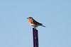 January 14, 2012 (Highway C [Private Residence] / Crosstown, Perry County, Missouri) -- Eastern Bluebird