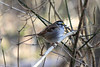 January 5, 2012 (Parkway Central High School [wooded trail] / Chesterfield, Saint Louis County, Missouri) -- White-throated Sparrow