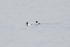 January 7, 2012 (Riverlands Migratory Bird Sanctuary [in Ellis Bay] - Saint Charles County, Missouri) -- Male Canvasbacks