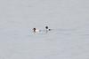 January 7, 2012 (Riverlands Migratory Bird Sanctuary [in Ellis Bay] - Saint Charles County, Missouri) -- Male Canvasbacks