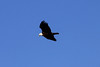 January 7, 2012 (Riverlands Migratory Bird Sanctuary [over Ellis Bay] - Saint Charles County, Missouri) -- Bald Eagle