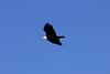 January 7, 2012 (Riverlands Migratory Bird Sanctuary [over Ellis Bay] - Saint Charles County, Missouri) -- Bald Eagle