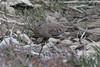 January 8, 2012 (Weldon Springs Conservation Area, Blue Grosbeak Trail / Weldon Springs, Saint Charles County, Missouri) -- Common Ground Dove