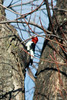 January 14, 2012 (Highway C [Private Residence] / Crosstown, Perry County, Missouri) -- Red-headed Woodpecker
