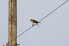 January 7, 2012 (Bischoff Road [wires over road and farm fields] / Granite City, Madison County, Illinois) -- American Kestrel