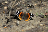 April 16, 2012 (Parkway Central High School [on wooded trail] / Chesterfield, Saint Louis County, Missouri) -- Red Admiral Butterfly