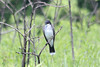 May 10, 2012 (Shaw Nature Reserve [near Prairie Trail] / Franklin County, Missouri) -- Eastern Kingbird