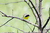 May 10, 2012 (Shaw Nature Reserve [near Bascom House] / Franklin County, Missouri) -- Common Yellowthroat