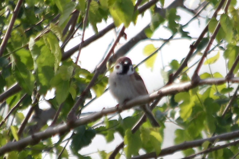 April 7, 2012 (Riverlands Migratory Bird Sanctuary [near visitor center] / West Alton, Saint Charles County, Missouri) -- Eurasian Tree Sparrow
