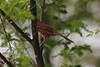 April 1, 2012 (Simpson Lake County Park [near playground] / Valley Park, Saint Louis County, Missouri) -- Brown Thrasher