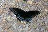 May 5, 2012 (Rockwoods Reservation [trail head off Glencoe Road], Wildwood, Saint Louis County, Missouri) -- Red-Spotted Purple Butterfly