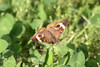 May 1, 2012 (Columbia Bottom Conservation Area [near slough boardwalk] / Saint Louis County, Missouri) -- Buckeye Butterfly