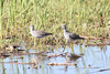 April 16, 2012 (Columbia Bottom Conservation Area [flooded fields] / Saint Louis County, Missouri) -- Lesser Yellowleg